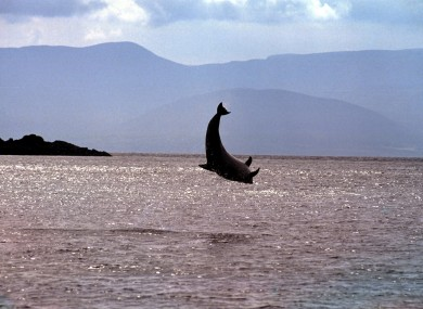 File photo. Fungie the dolphin has been in the Dingle peninsula for almost 40 years.
