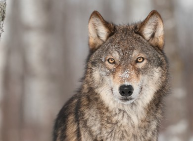 Coloradans will be asked whether grey wolves should be reintroduced.