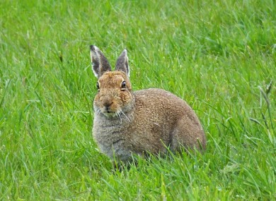 File photo of a hare