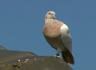 The racing pigeon sitting on a rooftop in Melbourne, Australia.