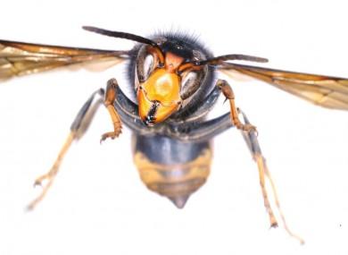 The Asian hornet specimen